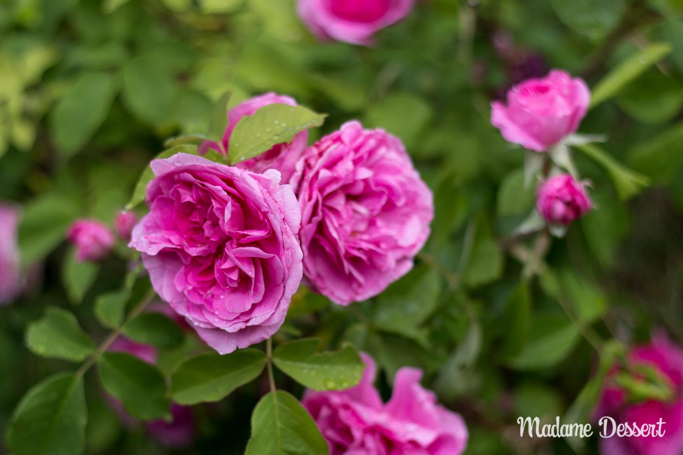 Rosenernte | Madame Dessert