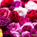 Alles was du über die Rosenernte wissen solltest