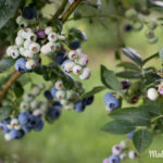 Heidelbeerernte – selbst gepflückt schmeckt's doch am besten!