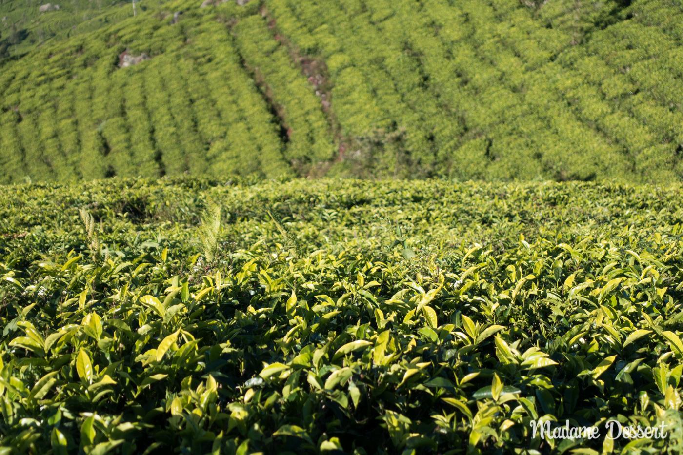 Schwarzer Ceylon Tee aus Sri Lanka | Madame Dessert